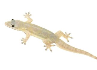 LIZARD EGG MAKE YOU MILLIONAIRE,GECKO LIZARD EGG VALUE,GECKO LIZARD EGG,GECKO LIZARD,FACTS ABOUT GECKO LIZARD,TOKAY GECKO FOR MEDICINES,INDIAN GECKOS ARE IN HIGH DEMAND,LIZARDS FOR MEDICINAL,JARA HAT KE