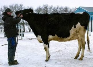 WORLD MOST EXPENSIVE COW,COW,ANIMAL,WEIRD ANIMAL,WIDE LIFE,WEIRD WORLD,WEIRD NEWS,OMG