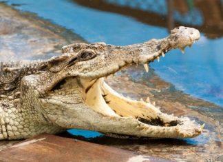 Crocodile, Indonesia, Ajab-Gajab